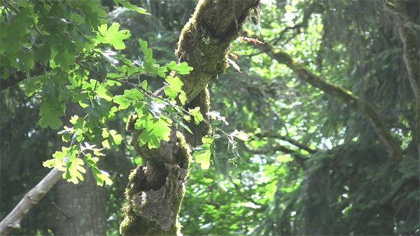灿烂阳光照射林间植物清新唯美大自然景色橡树叶高清视频实拍