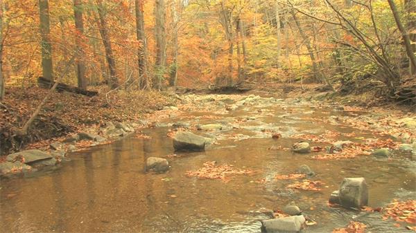 红叶枫树林小溪流水自然环境实拍高清视频素材