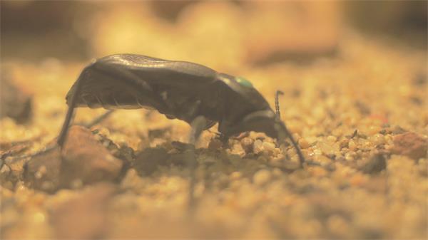 沙石地面甲虫觅食微细生物微距拍摄甲虫生活视频实拍