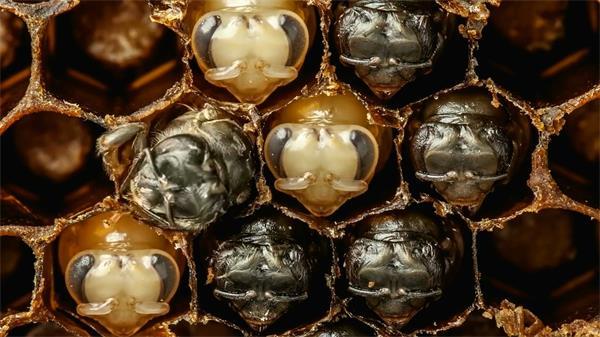 蜜蜂峰巢幼虫孵化成型延时实拍高清视频素材