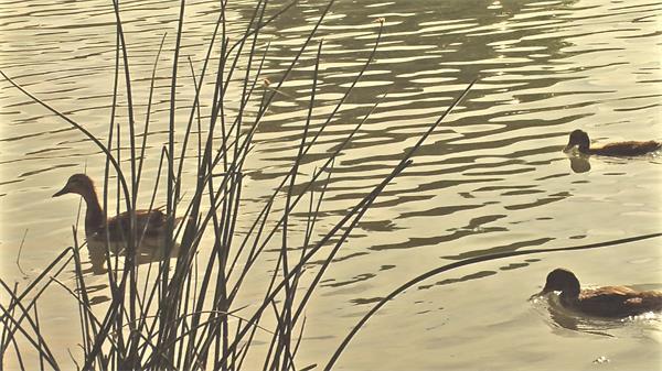 池塘閃耀鴨子水中游蕩泛起水紋小草搖擺高清視頻實拍