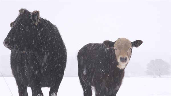 [4K]小黑牛雪中站立苏息大雪飘飘洁白空中植物抓拍高清视频拍摄