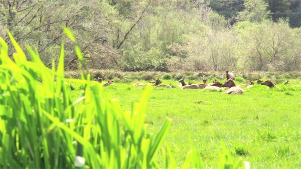 [4K]翠绿草原麋鹿群草地休息生态动物圈远距离镜头高清视频拍摄