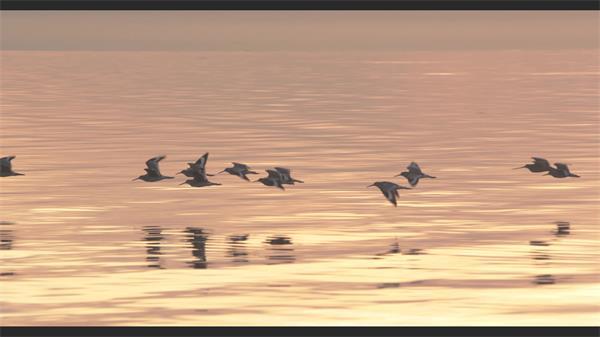 夕阳黄昏一群丹顶鹤天空中自由飞翔唯美画面鸟类生活特写视频实拍