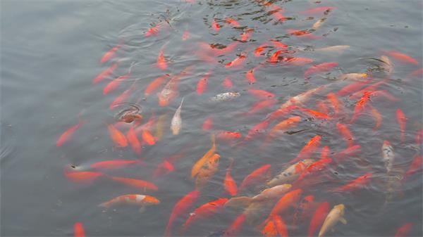 鱼塘中鱼儿游动游玩优美锦鲤鱼游来游去鱼类高清视频实拍
