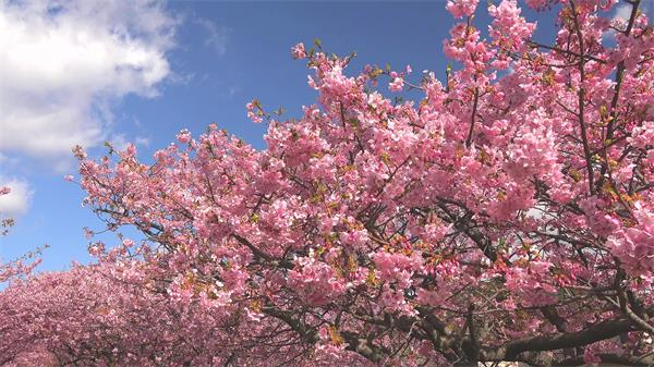 春季樱花绽放美丽景色自然风光樱花节观赏特写镜头高清视频实拍