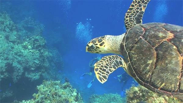 藍藍海底世界大海龜游動特寫近距離鏡頭海龜游泳離去高清視頻拍攝