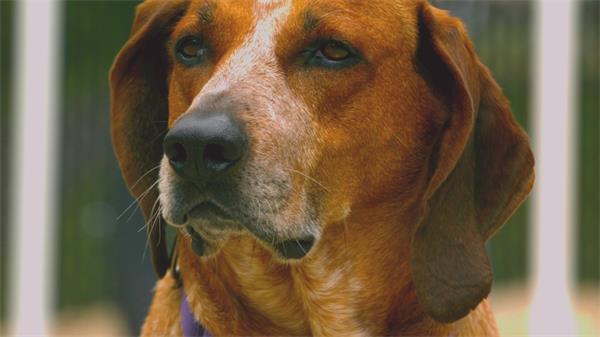 寵物的思念狗慢動作搖頭實拍高清視頻素材