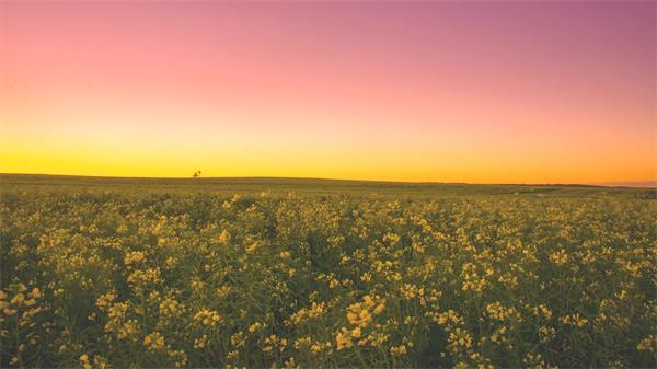 金黄油菜花海天气风云变化植物生长唯美浪漫景色高清延时实拍