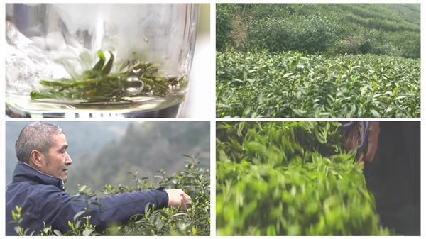 种植茶叶绿油油茶园风景采摘上等茶叶近距离特写高清视频实拍