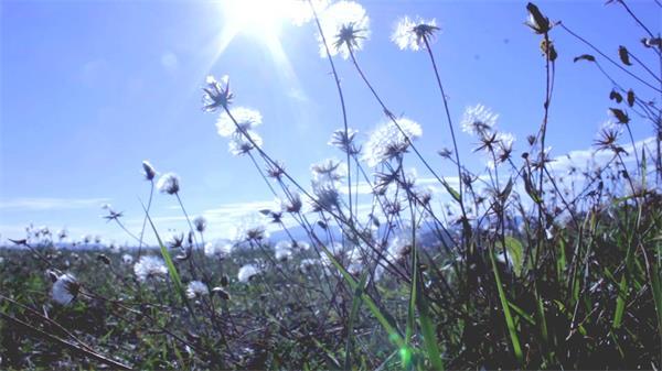 陽光普照草叢中蒲公英生長如畫般唯美畫面特寫大自然高清實拍