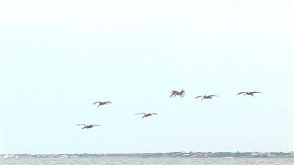 蓝天海洋海鸥海平面上飞翔海边生物生活姿态高清视频特写实拍