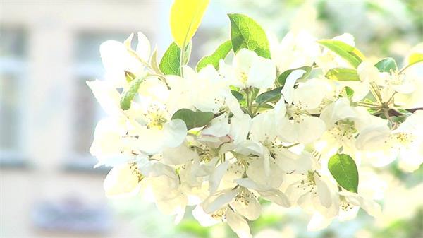日落时分拍摄树木唯美白花绿叶近距离特写镜头高清视频实拍