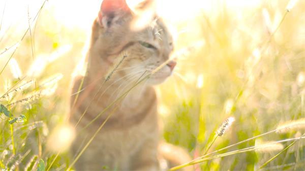 唯美阳光草丛中行走可爱小猫咪东张西望小草摇摆高清视频拍摄