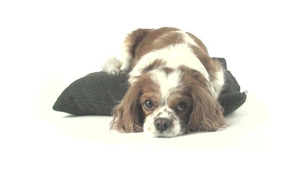 可愛小狗趴在抱枕上睡覺休息動物生活姿態捕捉高清視頻拍攝