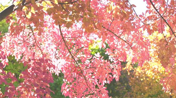 清新阳光照射树林红色叶子唯美绽放生长如画般植物高清视频实拍