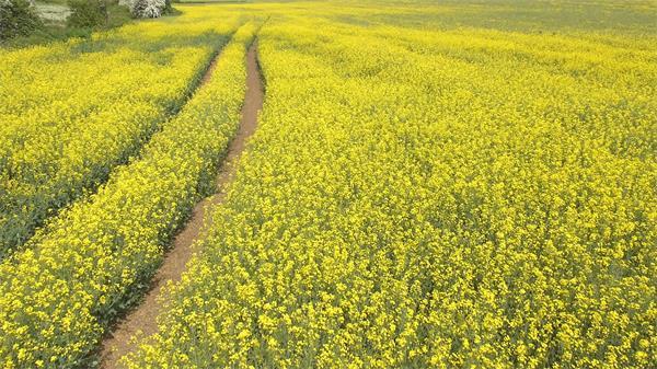 壮丽花海田植物鲜花高空拍摄自然风光高清视频航拍