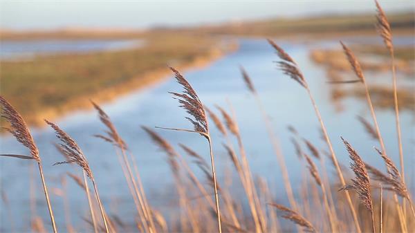 虚化沼泽地背景特写美丽芦苇植物风吹摇摆高清视频实拍