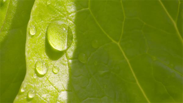 清新翠绿叶子凝聚水珠镜头移动自然景色高清视频实拍