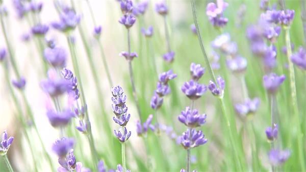 美丽薰衣草户外拍摄大自然魅力植物生长变焦剪辑高清视频实拍