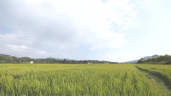 清新翠綠稻田風光農村休閑生活景象稻草田高清視頻延時航拍