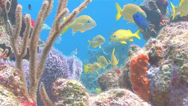 五彩缤纷海底世界珊瑚海礁黄色小鱼游动水底风景高清视频实拍