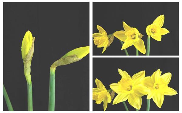 灿烂唯美黄色水仙花植物生长绽放花朵全过程高清视频实拍(带通道