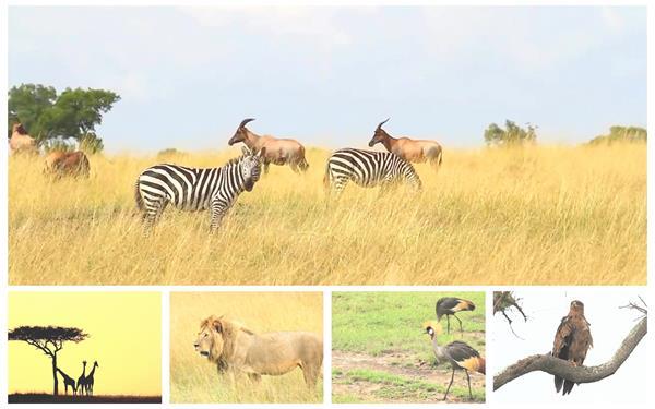 野生动物系列大自然保护区狮子长颈鹿猎豹动物生活高清视频实拍