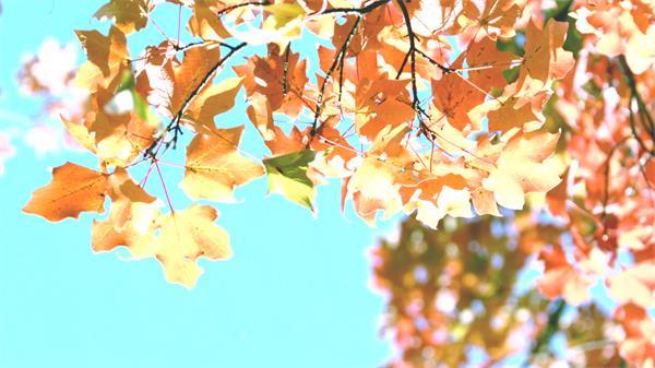 秋季天空枫树叶子飘落自然现象植物生长景色高清视频拍摄