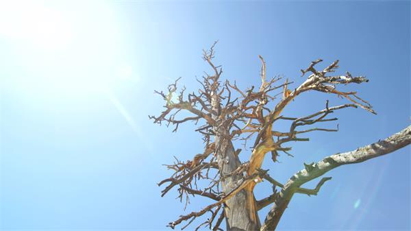 [4K]沙漠上干枯參天大樹仰視特寫樹干分枝陽光高清視頻實拍
