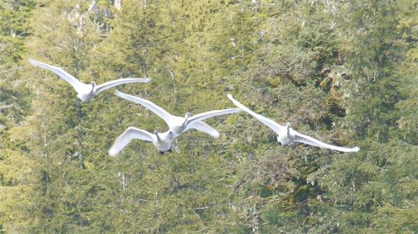 天鹅林间飞翔自由自在大自然保护区鸟类生活高清视频实拍