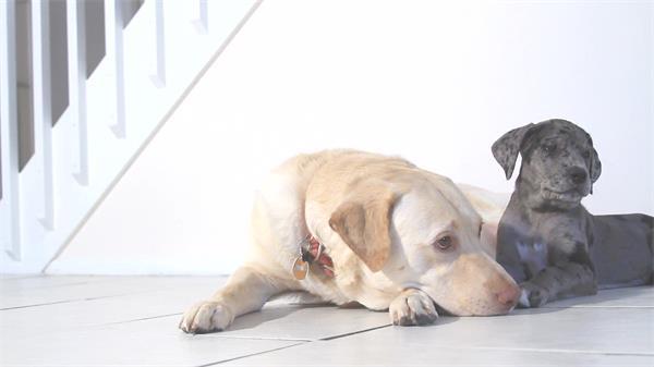 可爱小狗玩耍地板休息动物特写日常生活系列高清视频实拍