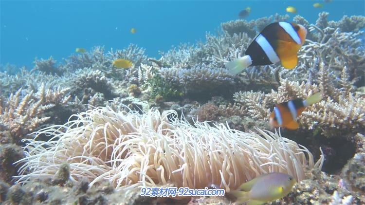 [4k]神奇深海世界海洋生物鱼类生活姿态珊瑚海礁景色高清视频实拍