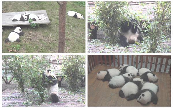 [4K]中国国宝大熊猫园区生活玩耍吃竹叶保护动物观赏高清视频实拍