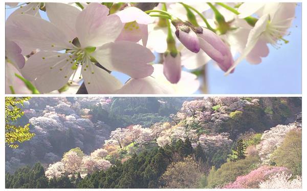 植物鲜花季节变化交替雪山渲染花朵活力生长景色高清视频延时拍摄