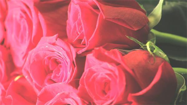 新鲜红玫瑰花束摆放旋转展示浪漫情人节场景高清背景视频实拍