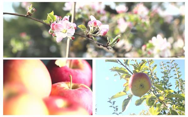 溫暖陽光照射植物蘋果樹開花結果種植果場景色高清視頻延時拍攝