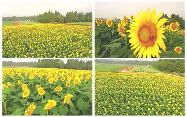 鲜艳唯美向日葵花田太阳花农田种植业风光景色高清视频航拍