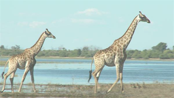 大自然草原三只长颈鹿行走生活特写动物系列近距离高清视频拍摄