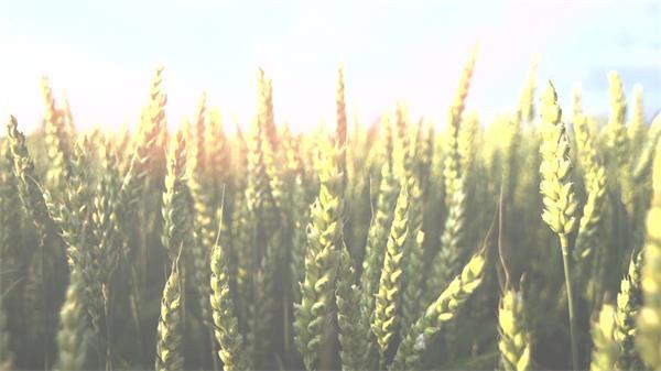 农业种植小麦田地温暖阳光照射小麦近距离镜头高清特写视频延时拍