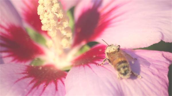 艳丽花朵蜜蜂采集授粉花瓣上休息采集食物昆虫类高清视频拍摄