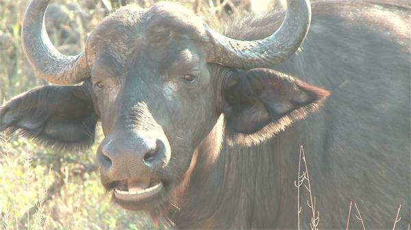 草地大水牛进食吃草嘴巴嚼动动物系列镜头特写高清视频拍摄