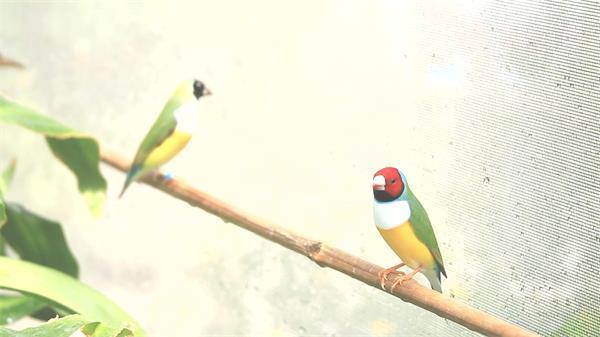 两只色彩艳丽鹦鹉站在竹竿观察休息鸟类近距离高清特写视频实拍