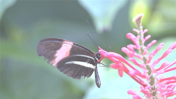 鲜艳花朵蝴蝶站在花朵上采集花蜜休息停靠昆虫类高清视频实拍