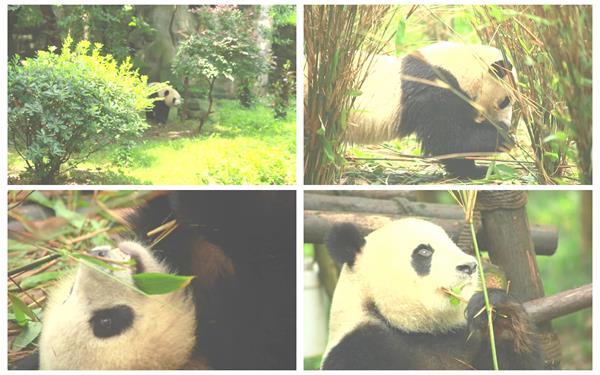 国家珍稀动物国宝大熊猫生活可爱动作姿态镜头特效高清视频拍摄