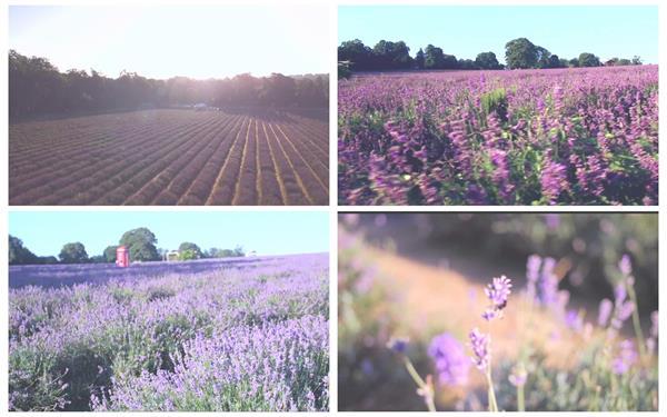 唯美壯麗薰衣草充足陽光照射花田風光花園宣傳片高清視頻航拍