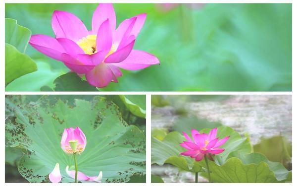 夏季荷塘荷花唯美绽放生长过程植物鲜花系列高清视频实拍