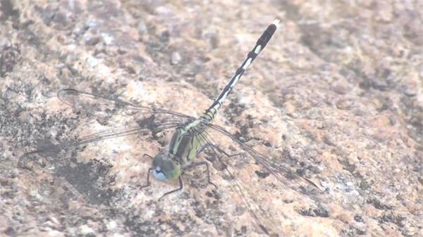蜻蜓自然微观世界空镜头近距离拍摄昆虫特写高清视频实拍