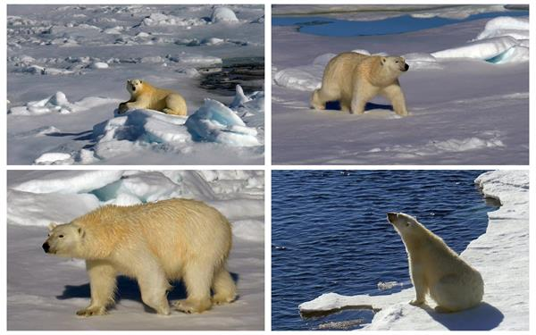 寒冷極地北極熊動物陽光沐浴雪地行走日常生活鏡頭高清視頻實拍
