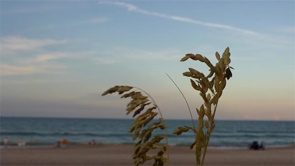 植物面向大海在沙滩上随风摆动镜头记录高清视频实拍